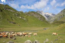 vallee-ossou-vignemale-vaches-gedre.jpg